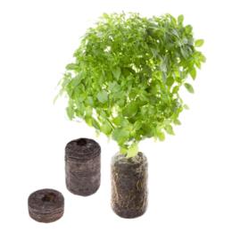 Tregren Oregano, 2 seed pods, SEEDPOD02